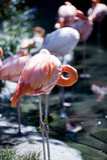 Rosa flamingo i solljus Royaltyfri Bild