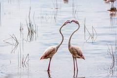 Rosa Flamingo kenya Ny upplaga Fotografering för Bildbyråer