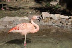 Rosa Flamingo mit Wasserbratenfett von seinem Schnabel lizenzfreie stockfotografie