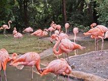 Rosa flamingo nära en bevattna fläck Royaltyfri Bild