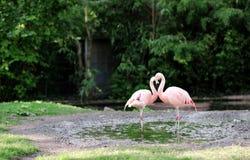 Rosa flamingo på den Frankfurt zoo - halsen för fågel` s drar en hjärta arkivbilder