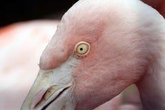 Rosa flamingo på en zoo i Kalifornien royaltyfri foto