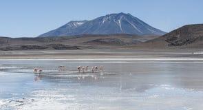 Rosa flamingo på ` för lagun Laguna Honda för på engelska ` djup i den sudLipez Altiplano reservaen Eduardo Avaroa - Bolivia Arkivfoto