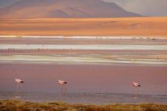 Rosa flamingo på Laguna Colorada eller den röda lagun i den Eduardo Avaroa Andean Fauna National reserven, Potosi, Bolivia fotografering för bildbyråer