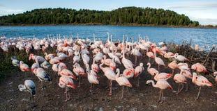 Rosa flamingo på laken Royaltyfri Fotografi