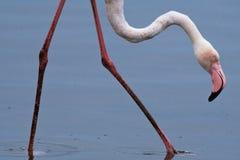 Rosa Flamingo Phoenicopterus, das im seichten Wasser nahe Sandwich-Hafen, Namibia watet lizenzfreie stockfotografie
