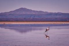 Rosa flamingo som går till och med grunt vatten arkivfoto