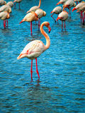 Rosa flamingoCamargue nationalpark, Frankrike Arkivfoton