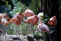 Rosa flamingoflock som vilar i solen Arkivfoto
