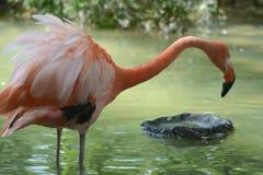 Rosa flamingokamé Royaltyfri Bild