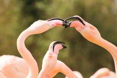 Rosa flamingokyss Arkivfoto