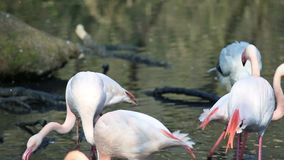 Rosa Flamingos stock video footage