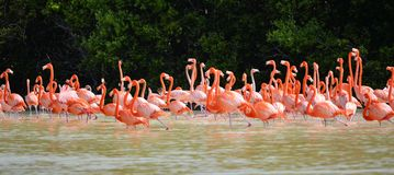 Rosa Flamingos lizenzfreies stockbild