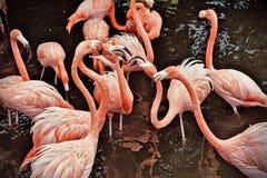 Rosa Flamingos Royaltyfri Bild