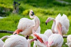 Rosa flamingos   Arkivfoto
