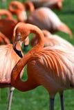Rosa Flamingos Stockbild