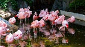 Rosa Flamingos fotografering för bildbyråer