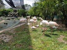 Rosa Flamingos lizenzfreie stockbilder