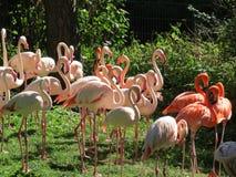 Rosa Flamingos aalen sich in der Sonne Lizenzfreie Stockbilder