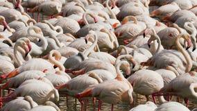 Rosa Flamingos auf dem See lizenzfreie stockbilder
