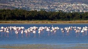 Rosa Flamingos in den wild lebenden Tieren Stockfotos