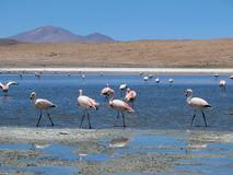 Rosa Flamingos an der Lagune stockfotografie
