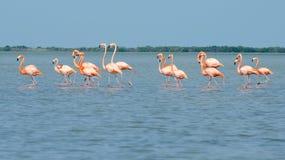 Rosa Flamingos, die in die Lagune gehen stockfotografie