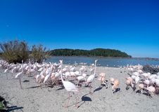 Rosa Flamingos durch den See lizenzfreies stockfoto