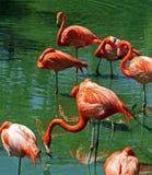 Rosa Flamingos Floridas Stockbild