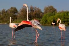 Rosa Flamingos i Camargue Arkivfoto