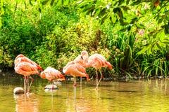 Rosa flamingos i vatten Arkivfoto