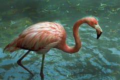 Rosa flamingos i vattnet Arkivfoto