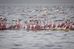 Rosa flamingos i vattnet Royaltyfri Fotografi