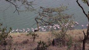 Rosa Flamingos im See stock video