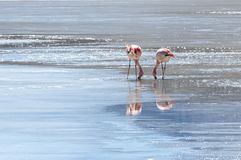 Rosa Flamingos in Laguna Honda in englisches ` tiefem Lagune ` in reserva Seifenlösung Lipez Altiplano Eduardo Avaroa - Bolivien lizenzfreie stockfotos