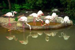 Rosa Flamingos mit Reflexion stockfotos