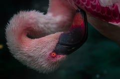 rosa flamingotvagning själv fotografering för bildbyråer