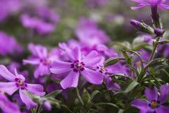 Rosa Flammenblume, blühende Frühlingsblumen Kriechen Phlox Stockbilder
