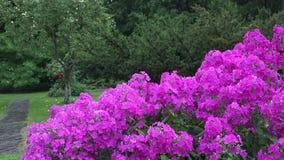 Rosa Flammenblumeblumenbeet und starke Regenwasserrückgänge fallen auf Betriebsblüte im Sommer 4K stock video