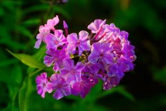 Rosa Flammenblumen Bebaute Blume Lizenzfreie Stockbilder