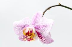 Rosa fläckar för vit orkidé Fotografering för Bildbyråer