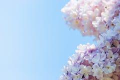 Rosa Flieder im blauen Himmel Lizenzfreies Stockfoto