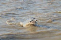 Rosa floddelfin Arkivfoto