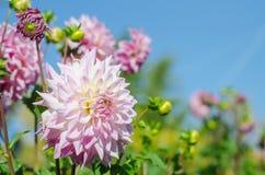 Rosa - flor blanca que florece en fondo del cielo Autumn Chrysanthemum fotos de archivo