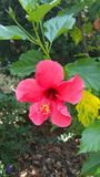 Rosa flora Arkivfoton