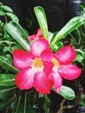 Rosa floreciente Imagenes de archivo