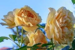 Rosa floreciente del amarillo en el jardín en un día soleado David Austin Rose Golden Celebration Foto de archivo libre de regalías