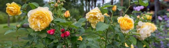Rosa floreciente del amarillo en el jardín en un día soleado David Austin Rose Golden Celebration Imagenes de archivo
