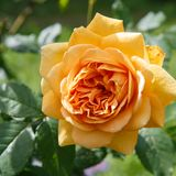 Rosa floreciente del amarillo en el jardín en un día soleado David Austin Rose Golden Celebration fotos de archivo libres de regalías