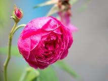 Rosa floreciente y de florecimiento del primer del rosa Fotos de archivo libres de regalías